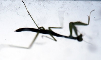 the praying mantis essay Free essay: in a prayer the praying mantis more about praying for faith: prayer as a metaphor for writing essays.