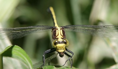 dragonfly eating damselfly
