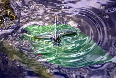 dragonfly in water