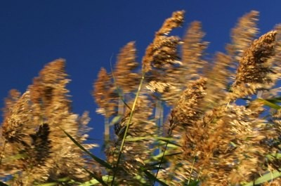 reeds blowing wind