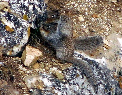 rock squirrels