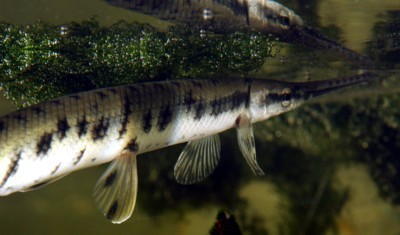 Longnose Gar Photo