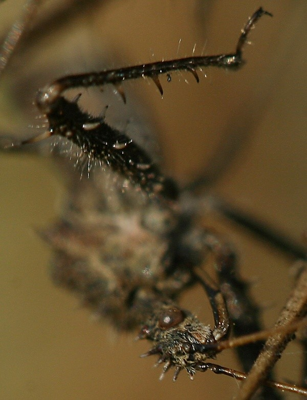 Assassin Bug Portrait
