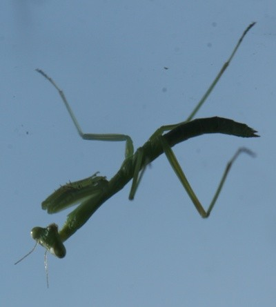 Young Praying Mantis