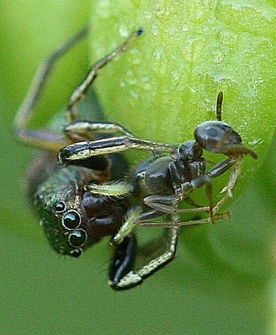 Jumping Spider eating Ant