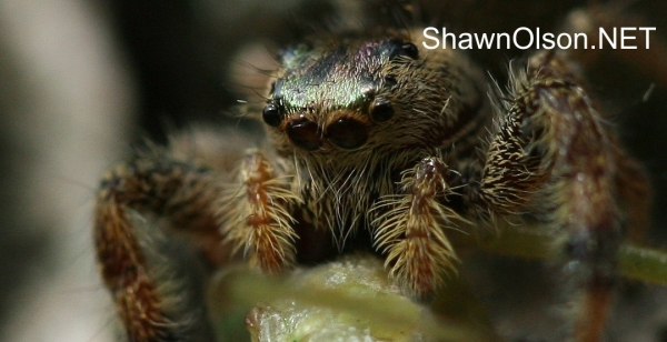 Portrait of a jumping spider