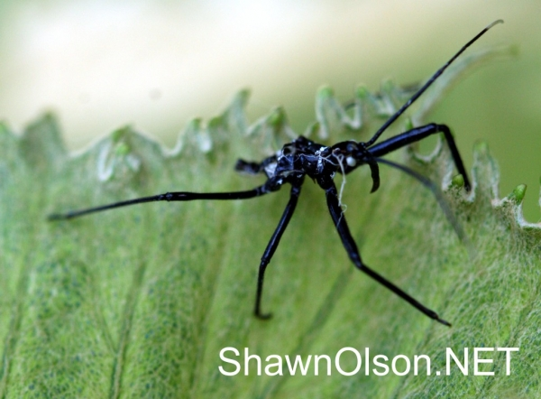 Dead Assassin Bug
