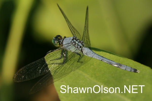 Large Blue Dragonfly