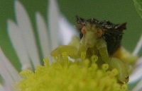 ambush bug photo