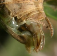 carolina mantis ovipositor