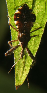 spiny assassin bug