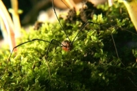 daddy long leg harvestman