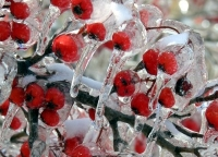 Ice covering crab apples