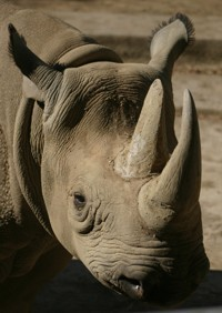 Rhinoceros photo