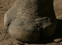 Rhinoceros foot