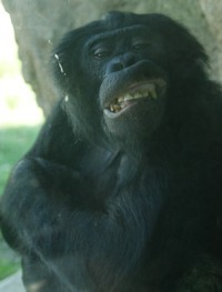 Smiling Bonobo Chimpanzee Photo