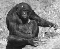 Bonobo Chimpanzee Photo