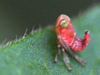leafhopper red