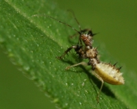 Young Assassin Bug