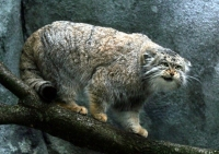 Pallas Cat Photo