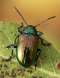 Green Shiny Beetle