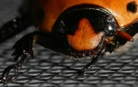 Grapevine Beetle Photo