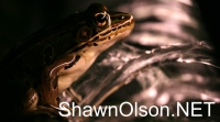 Leopard Frog in Fountain