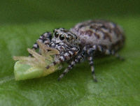 Jumping Spider Lunch