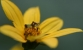 ambush bug on flower