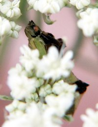 photo insect ambush bug