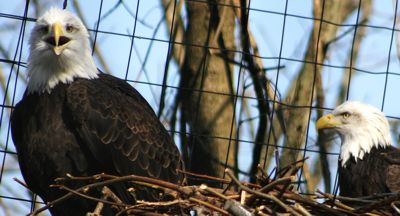 bald eagles photo