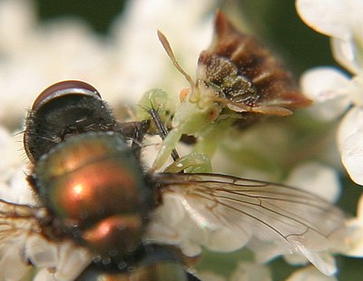 ambush bug eating fly