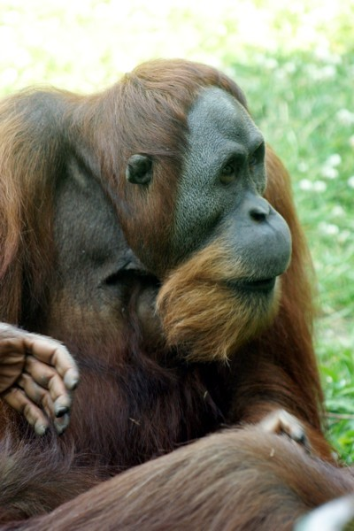 Orangutan Photo