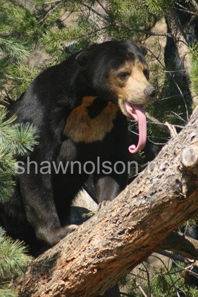 Sun Bear and Long Tongue