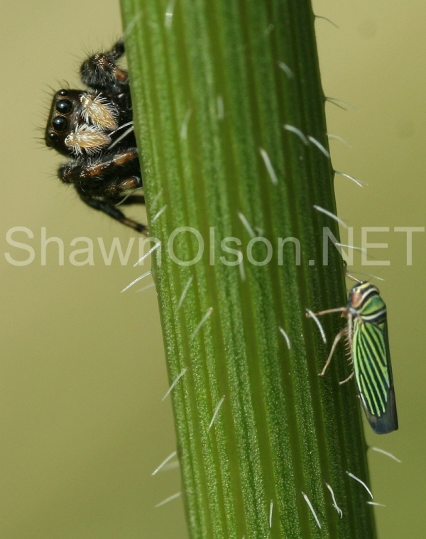 Jumping Spider and Leaf Hopper