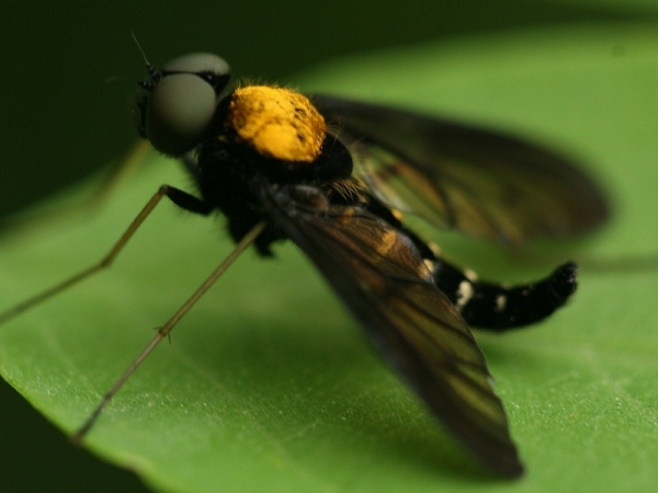 large black and yellow fly