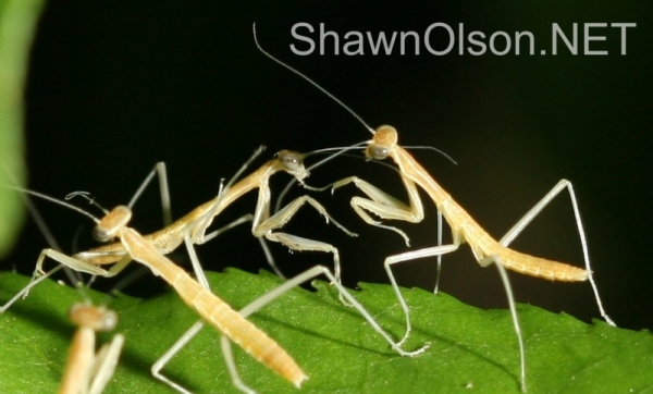 Jumble of Mantids