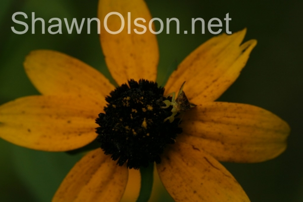 ambush bug on daisy