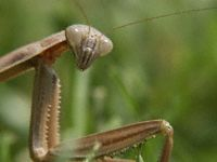 Praying Mantis Photo