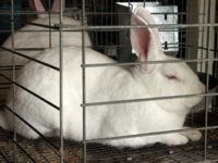 Rabbits White
