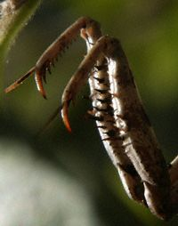 Praying Mantis claws