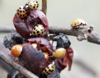 Lady Beetle swarming grapes