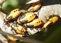 orange milkweed bugs