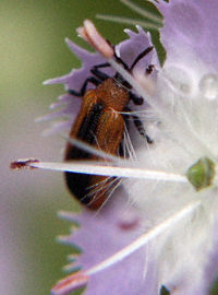 beetle in flower