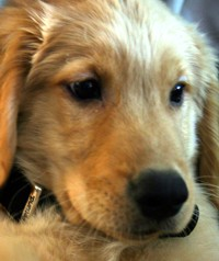 dewey - golden retriever