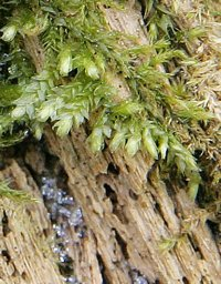Moss growing on a decaying tree