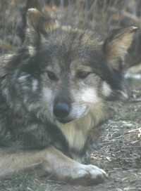 mexican wolf photo