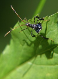 blue leaf-footed  bug