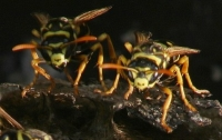 yellow jacket wasp photo