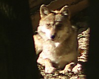 curious wolf sitting